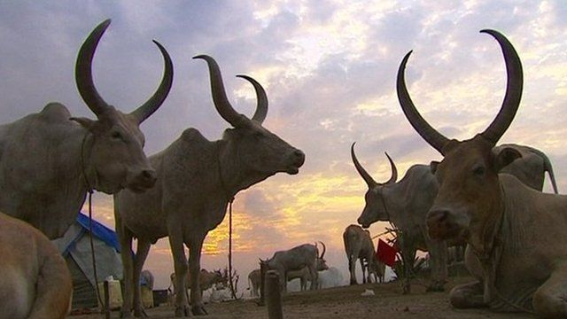 Horned cows
