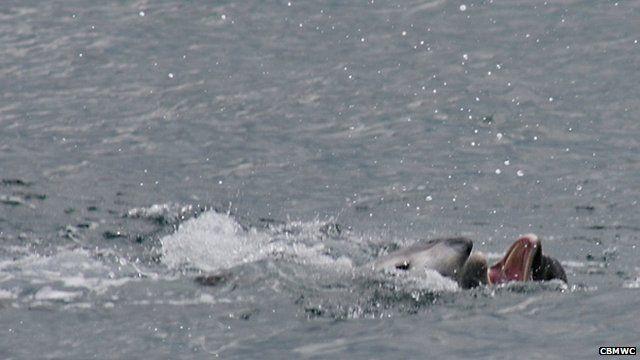 Dolphin attacks porpoise