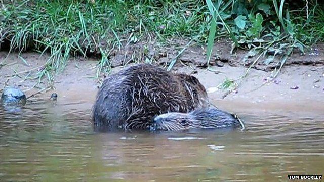 Beavers (Pic: Tom Buckley)