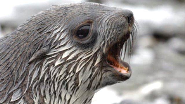 Antarctic fur seal (c) BAS