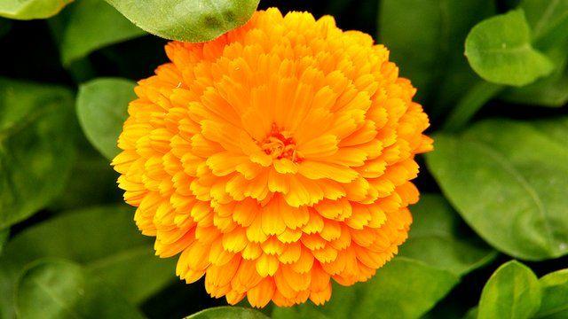 Marigold at Kew Gardens