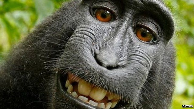 Disputed selfie of crested black macaque