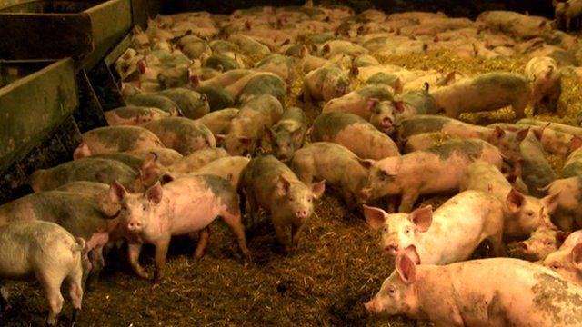 Pigs in a pig farm