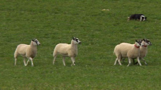 Sheepdog trials, Gloucestershire