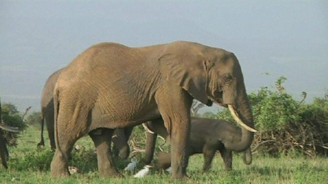 Between 2010 and 2013 Africa lost an average of 7% of its entire elephant population each year