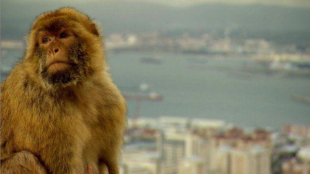 A Barbary macaque