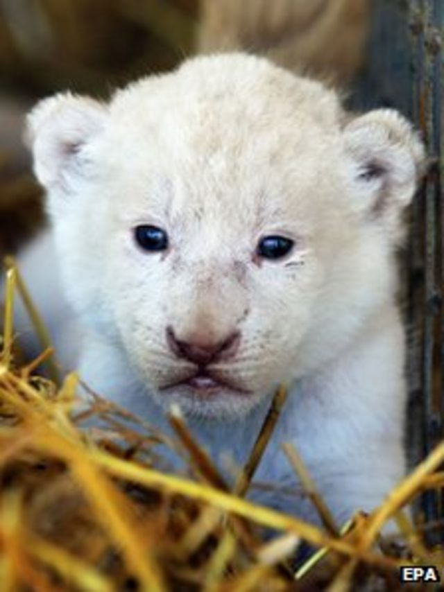 Four rare white lion cubs born at circus in Germany