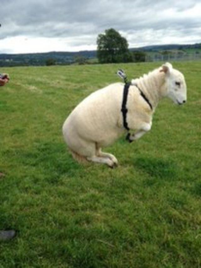 'Two simple rules' explain sheepdog behaviour