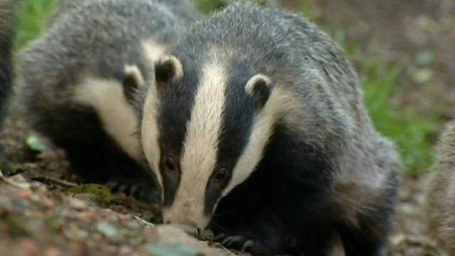 Badgers (generic)
