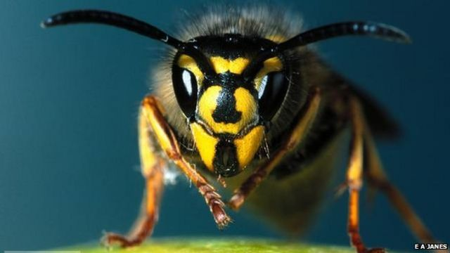 Burglary suspect arrested as wasps carry out 'sting operation'