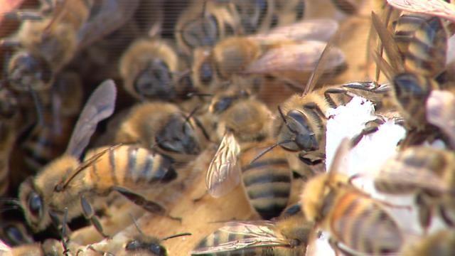 Glasgow bees