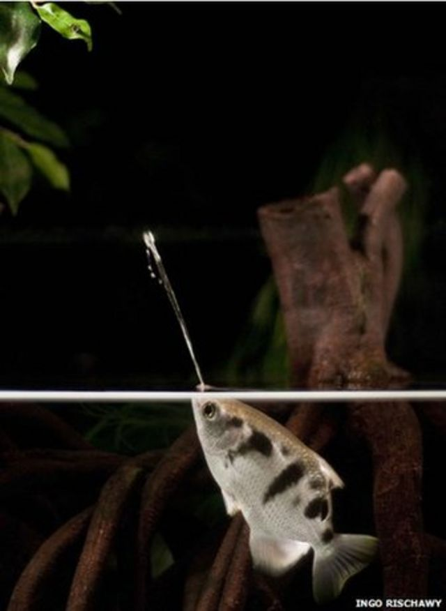 Spitting fish 'adjust for distance' when shooting