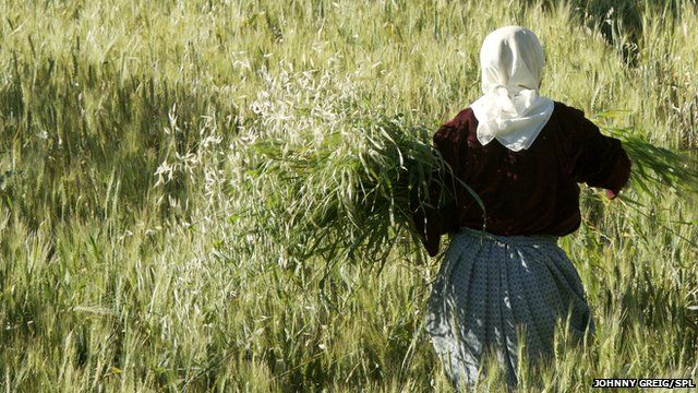 Woman collecting wheat