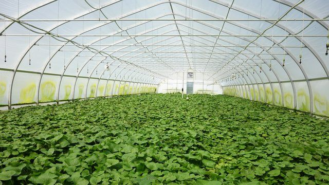 Wasabi greenhouse