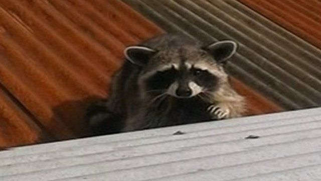 Rab the racoon escaped from a pet shop in Ballymena