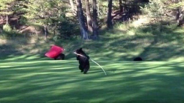 Bear cub on a golf course in Fairmont Hot Springs