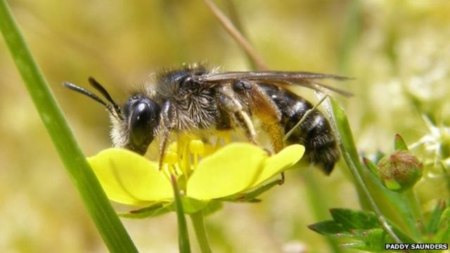 Two rare bee species discovered on Cornwall nature reserve