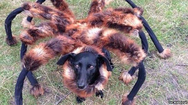 Spider-dog: Dog dressed up in spider outfit