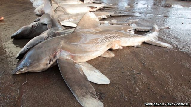 First ban on shark and manta ray trade comes into force