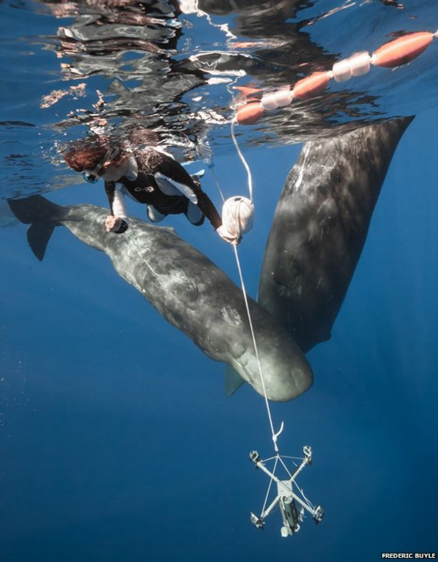 The freedivers who swim with whales