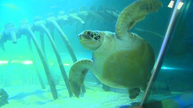 Ernie the green sea turtle