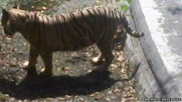 Indian white tiger kills man at Delhi zoo