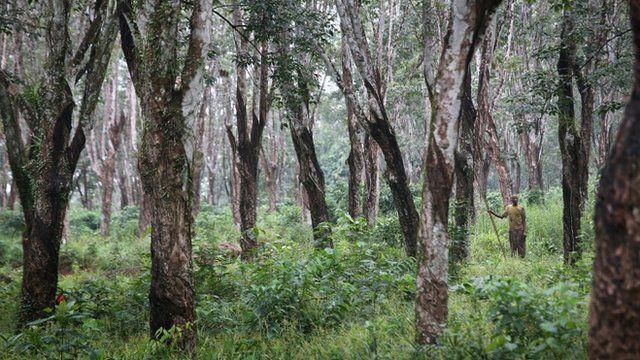 Tree plantation in Liberia