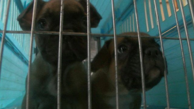 Puppies being transported to the UK