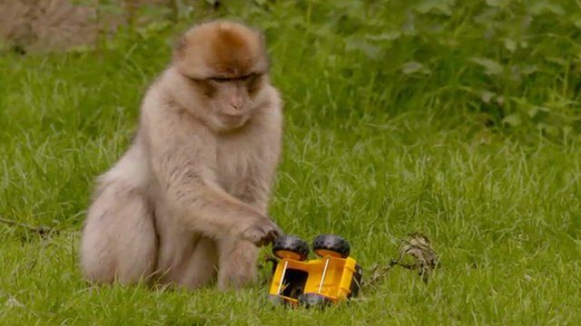 Barbary ape plays with a toy truck