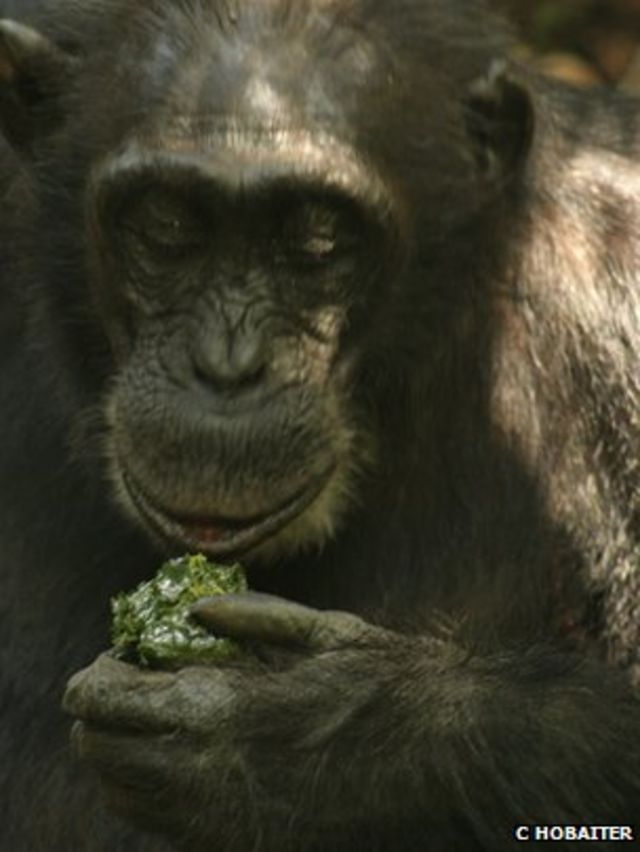 Chimps with tools: Wild ape culture caught on camera