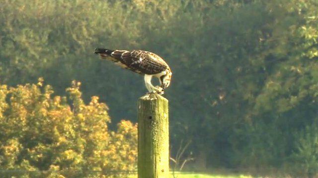 An osprey on a pole