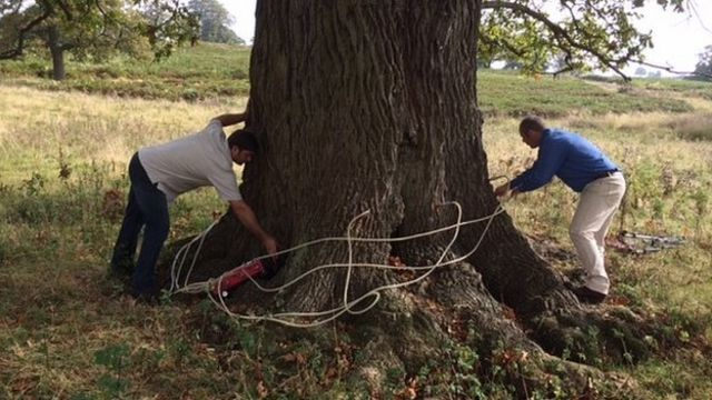Garlic injection could tackle tree diseases