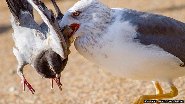 Seagull picks up a pigeon