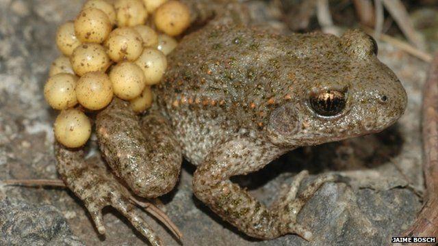 New viruses 'killing amphibians' in Spain