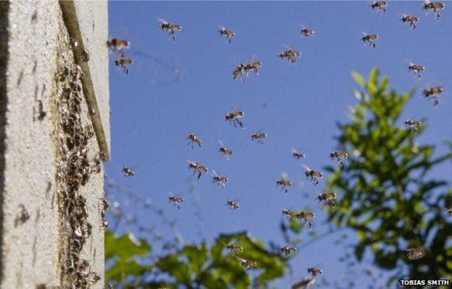 Aussie bees fight 'hive wars'