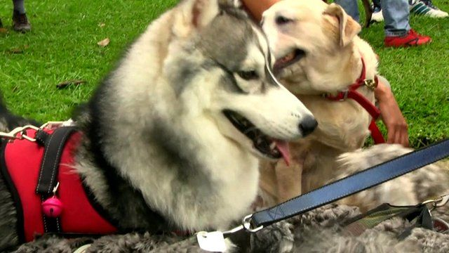 Dogs at a canine event in Malaysia's Selangor state.