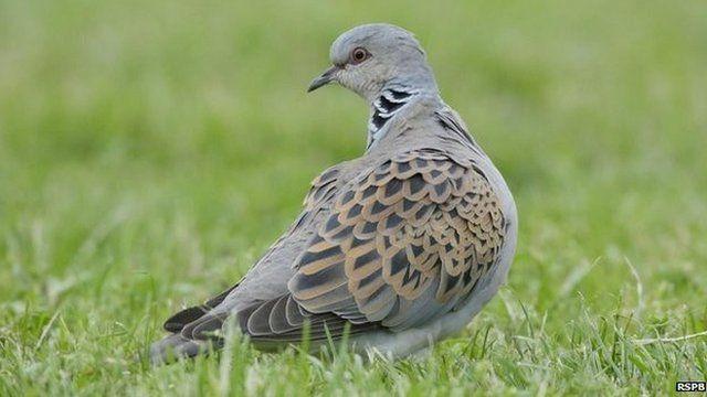 Turtle doves showed the most rapid decline
