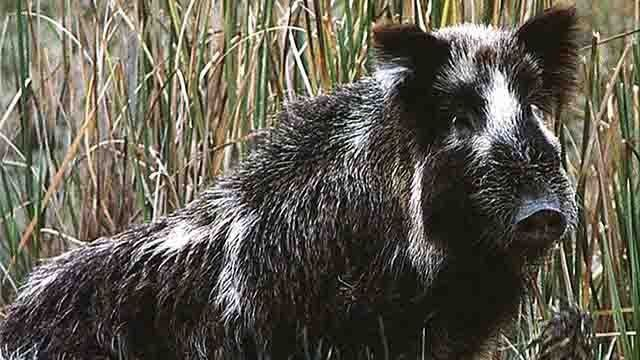 Media Player Wild Pig In Us
