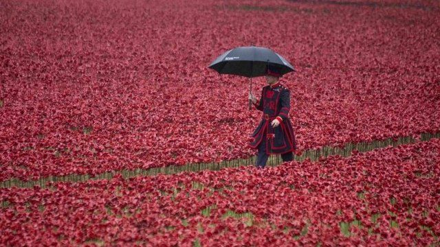 A Yeoman Warder walks through ceramic poppies at the Tower of London