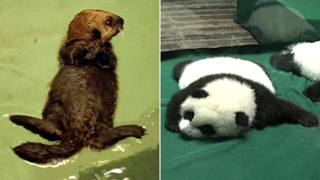 Otter and panda