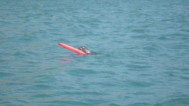 The seal playing with the buoy