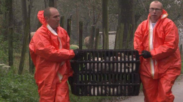 Men in protective suits carrying crate of hens