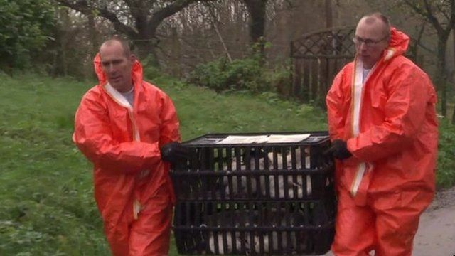Men carry hens to be killed at a farm in Hekendorp, the Netherlands