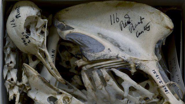 Pigeon bones