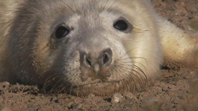 Grey seal pup at Blakeney Point reserve