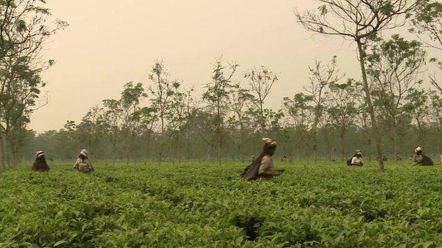 Workers on a tea plantation