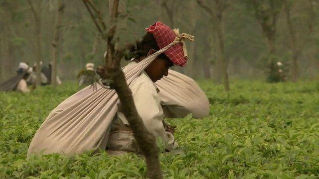Worker in tea plantation