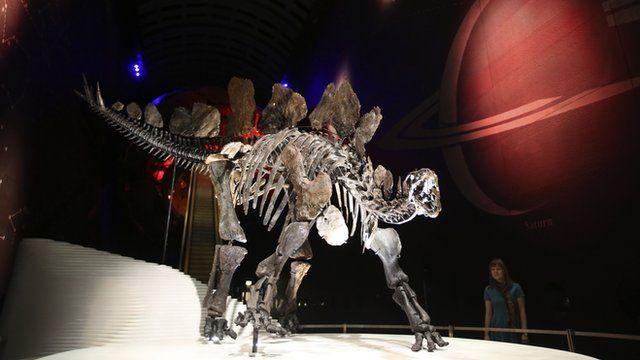 Stegosaurus skeleton on display