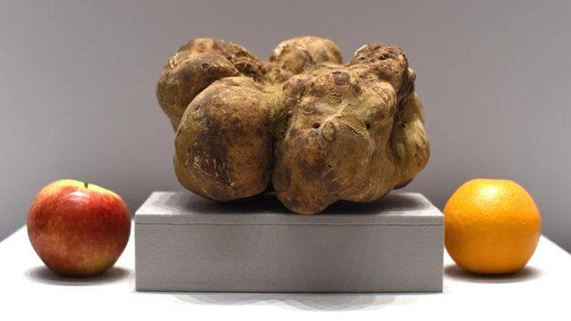 Rare huge white truffle on display at Sotheby's New York on December 5, 2014