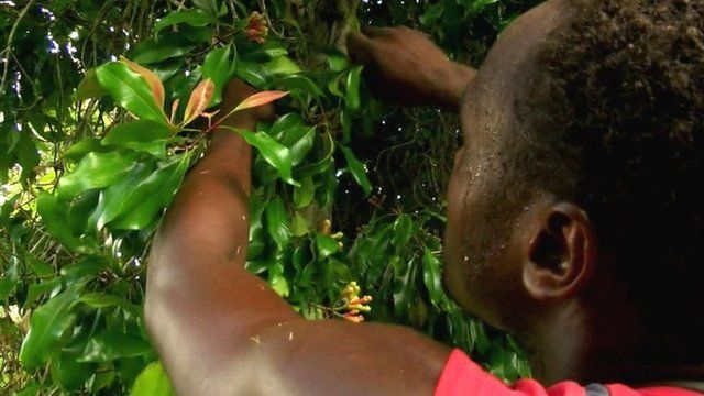 Tanzanian man picking cloves